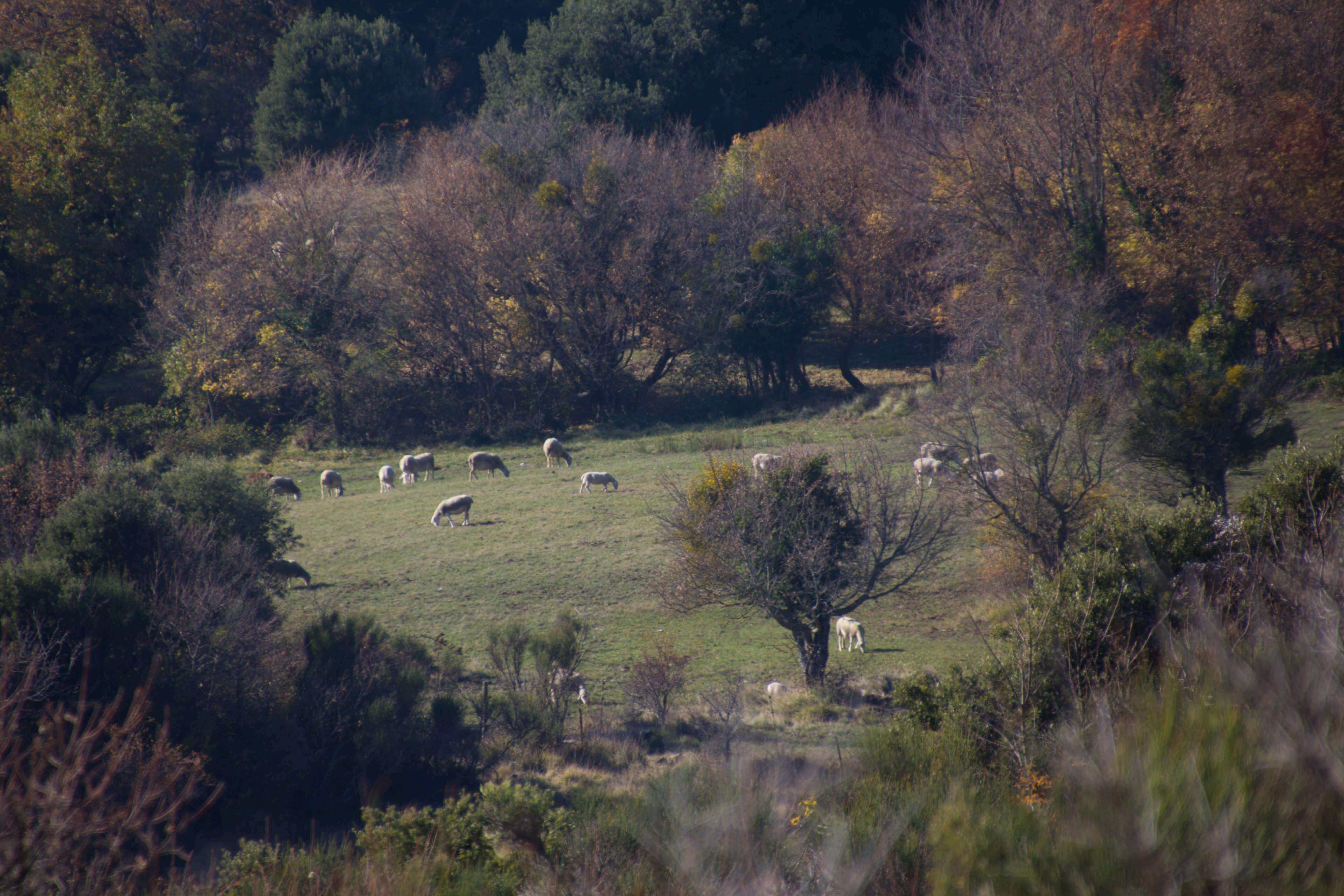 Les moutons ne sont pas loin